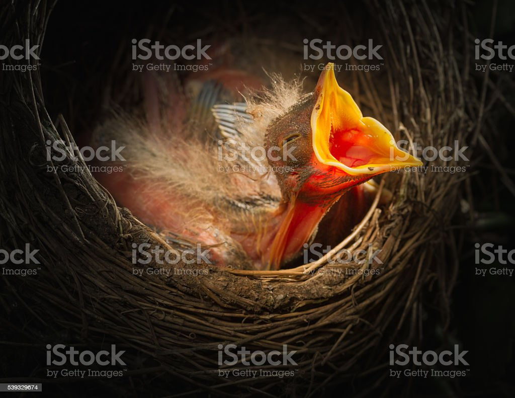 Baby bird in the nest with mouth open stock photo
