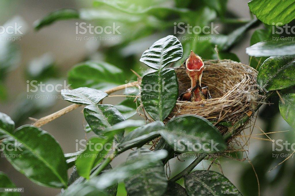 baby bird of bulbul royalty-free stock photo