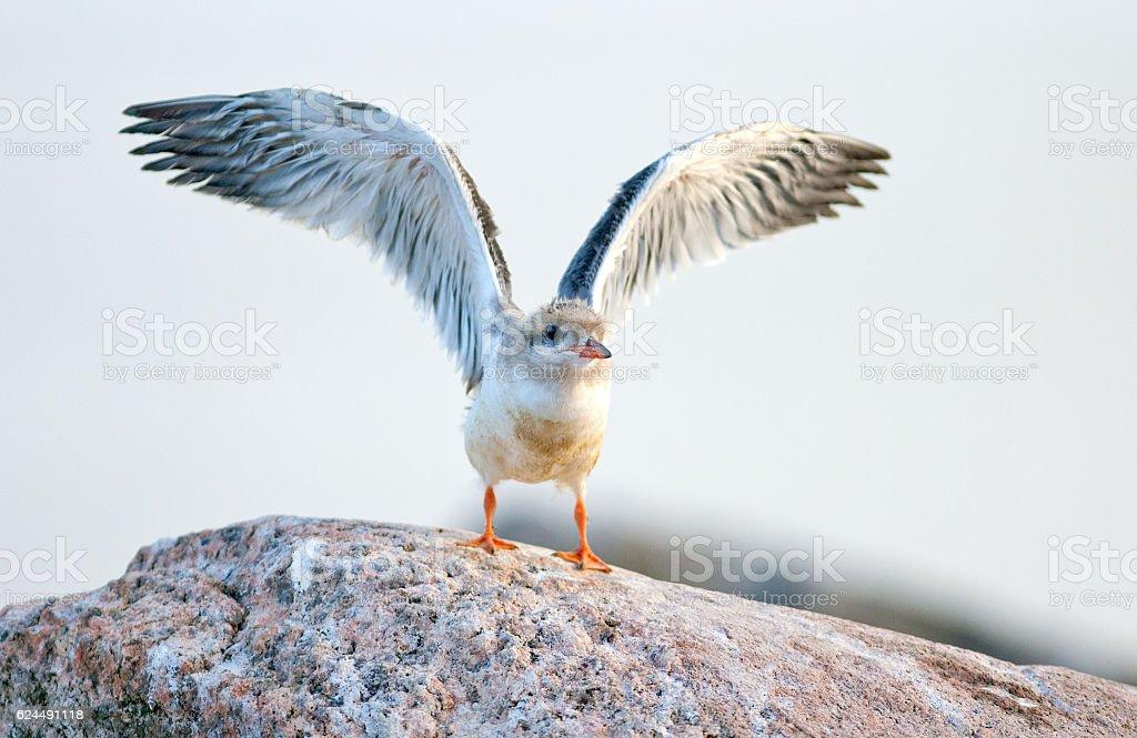 Pássaro bebê de trinta-réis-comum. - foto de acervo