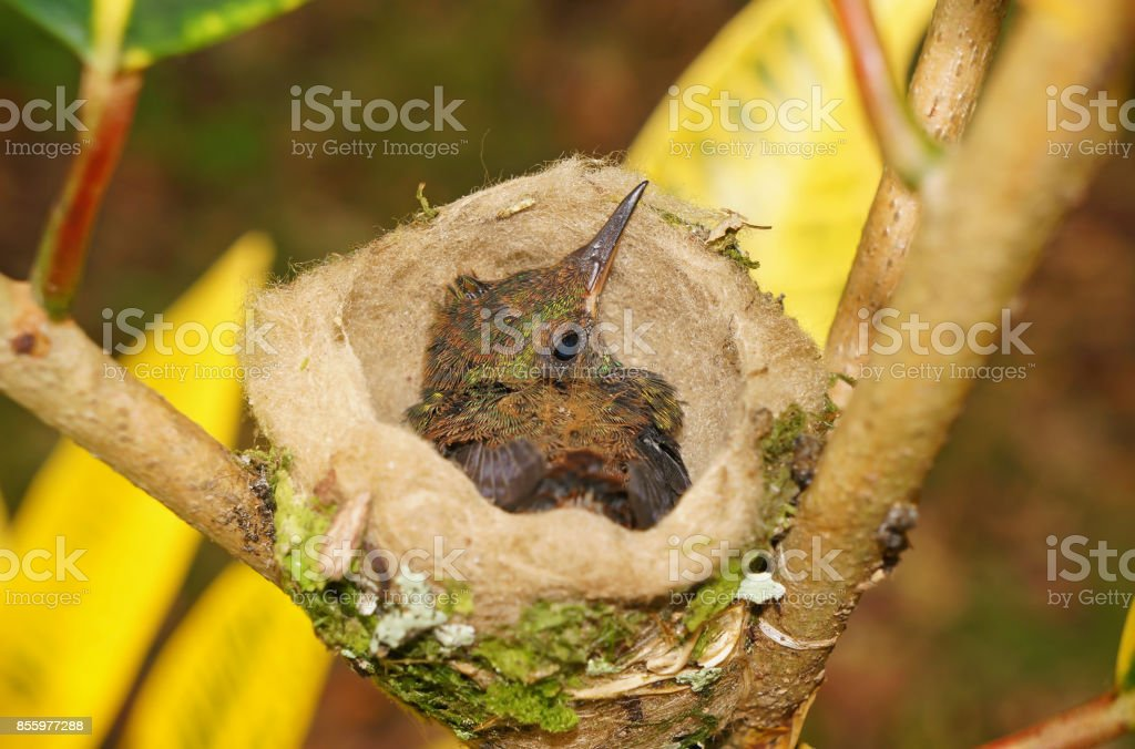 baby bird of Rufous-tailed hummingbird in the nest, 18 days old,...