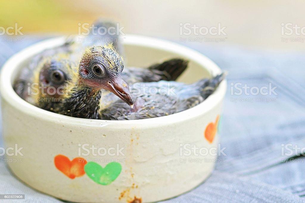 Baby bird. Pigeon, Doves. stock photo