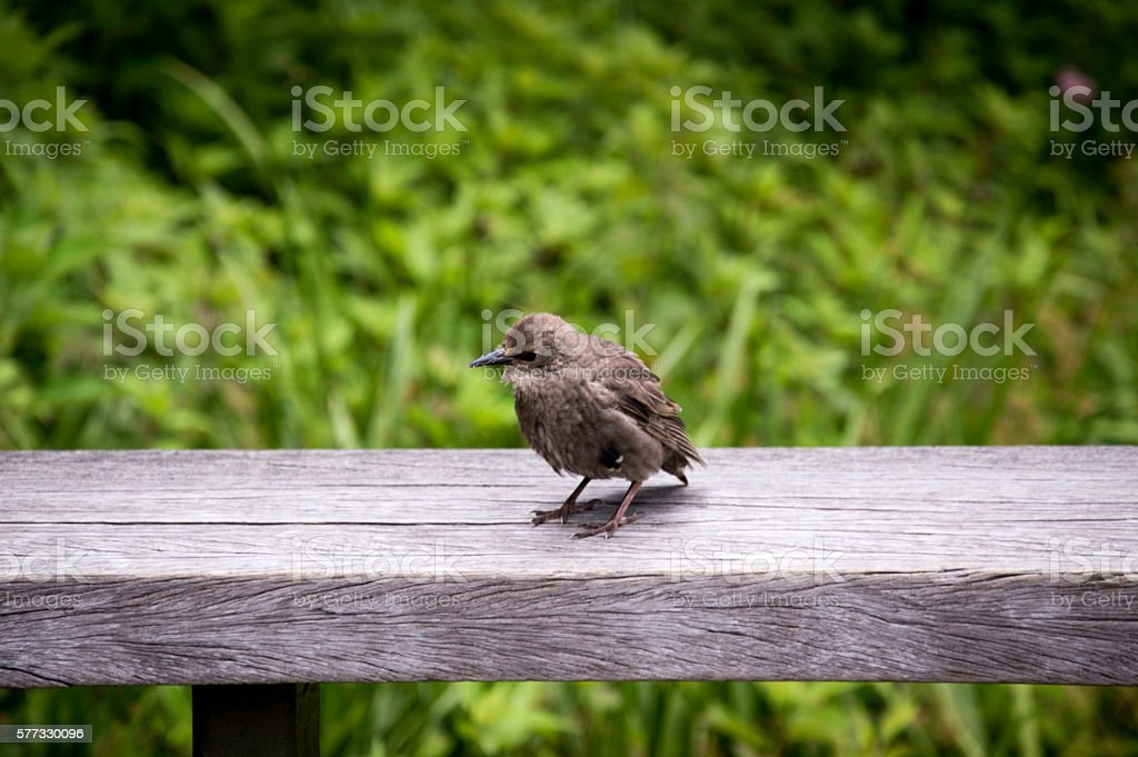 Baby bird sitting on a handrail stock photo
