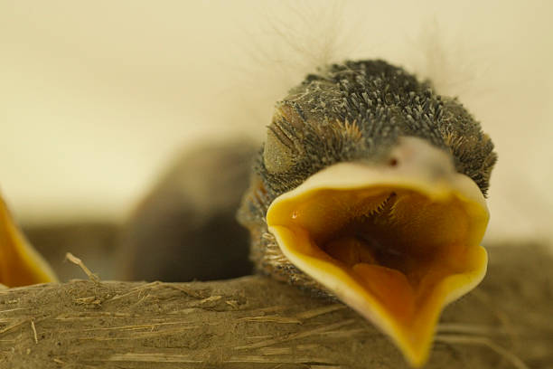 Royalty Free Baby Bird In The Nest With Mouth Open ...