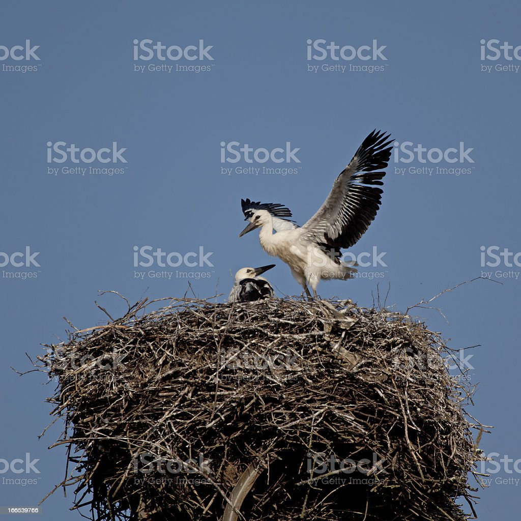 Baby birds of white stork in a nest without parents royalty-free stock photo