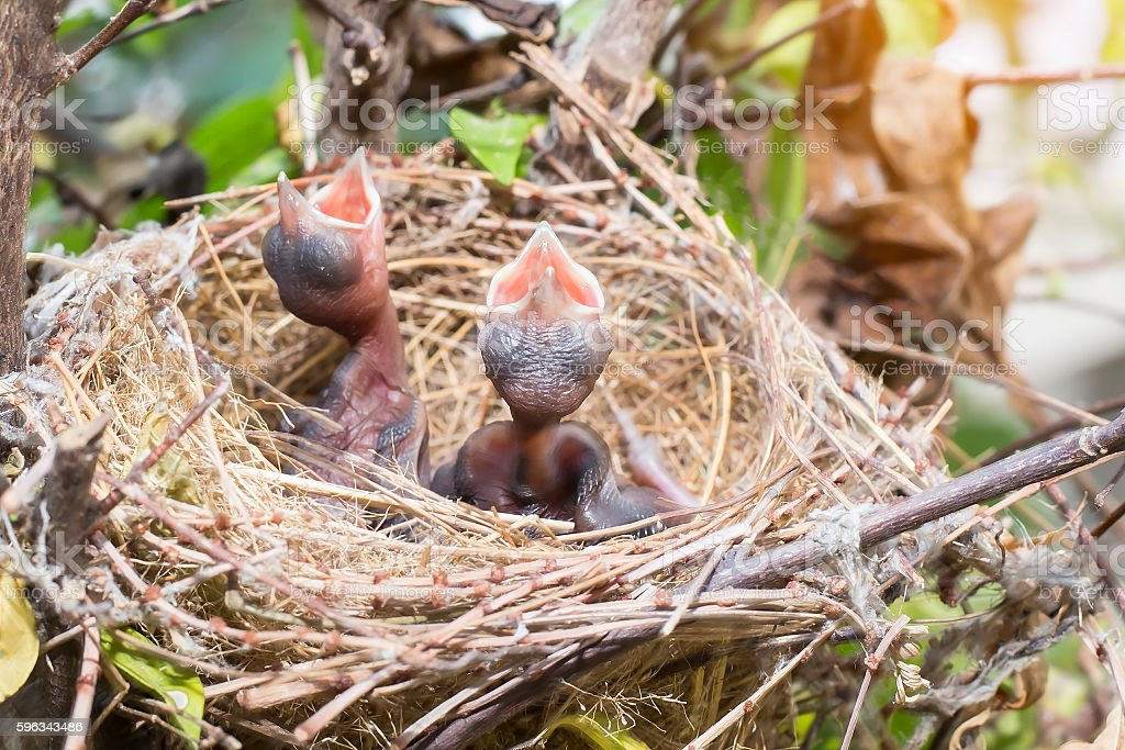 Baby birds waiting for food royalty-free stock photo