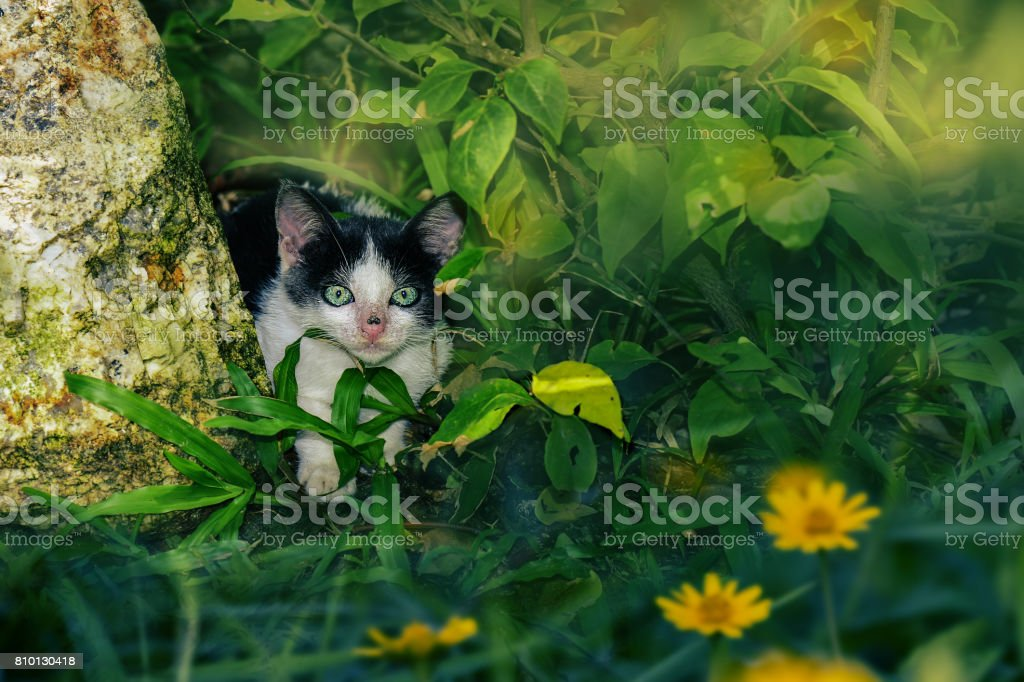 Baby black and white cat in the bushes stock photo