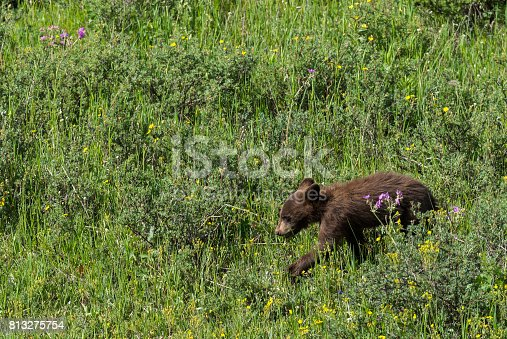 A baby black bear in a field of flowers