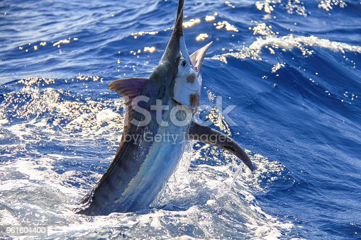 Baby black marlin light tackle. Jumping beside the boat.   Note the parasite growth on the face which is typical of these light tackle fish.