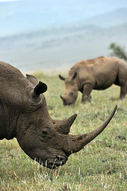 Baby Black Rhino and mother stock photo