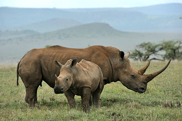 "Baby Black Rhino and mother ""Black rhinoceros baby and mother, Lewa, Kenya"" rhinoceros stock pictures, royalty-free photos & images"
