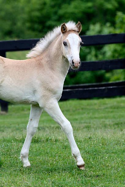 baby blond horse stepping out A young Haflinger Filly steps out with confidence. palomino stock pictures, royalty-free photos & images