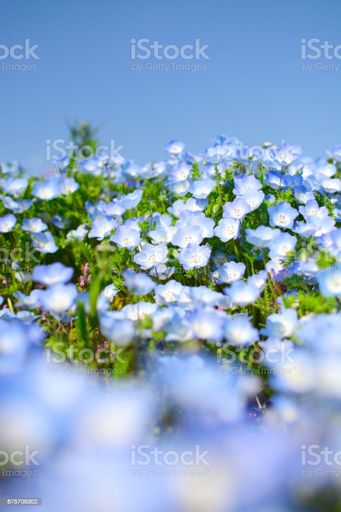 Baby blue eyes nemophila flowers macro with foreground blur, at Hitachi Seaside Park in Japan 免版稅 stock photo