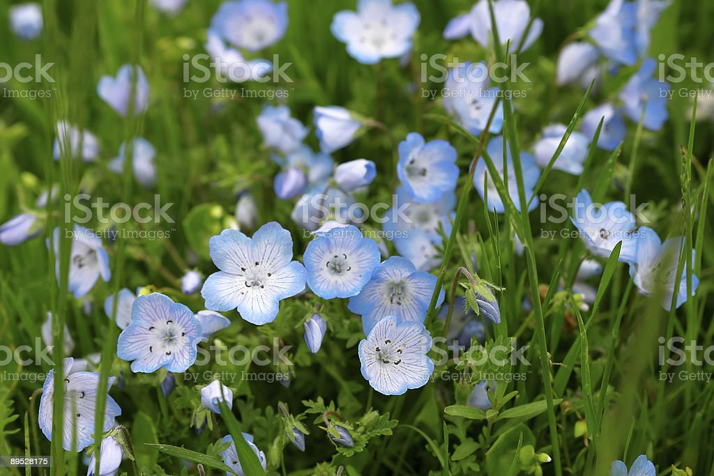 Baby Blue Eyes Wildflowers royalty-free stock photo
