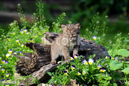 Baby Bobcat paying attention to his surroundings.