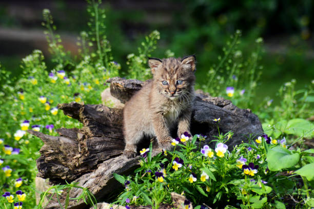 Baby bobcat surrounded with wildflowers looking at the camera picture id974285822?b=1&k=6&m=974285822&s=612x612&w=0&h=zgjrtaqsgixeaxqdabtgt z0gybxizg3vtesefqq8xm=