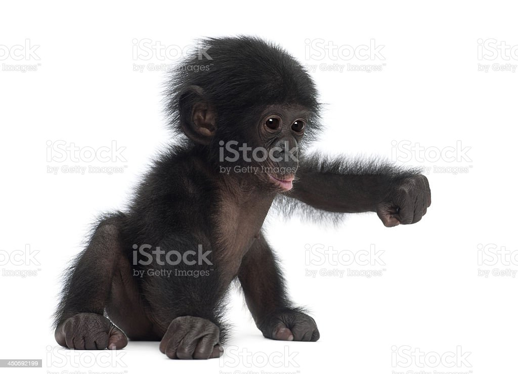 Bébé Chimpanzé pygmée, Pan paniscus, 4 mois - Photo