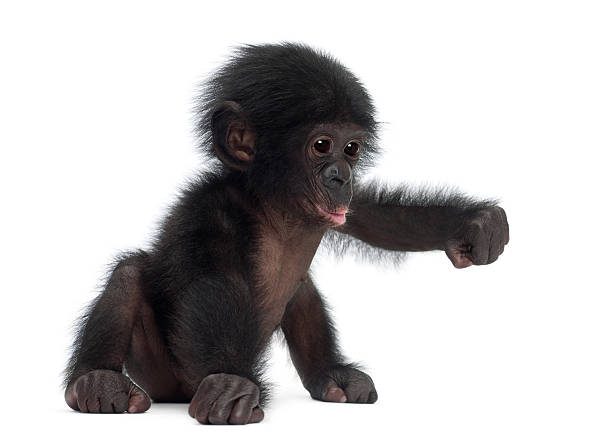 baby bonobo, pan paniscus, 4 months old - ape stock pictures, royalty-free photos & images