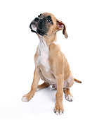 istock Baby boxer dog looking up on white background 184595996