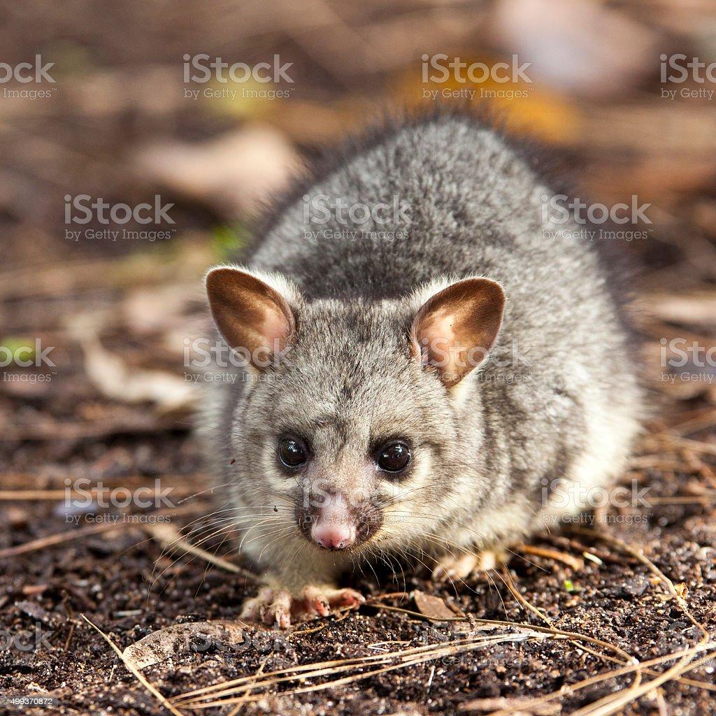 Baby Brushtail Possum stock photo