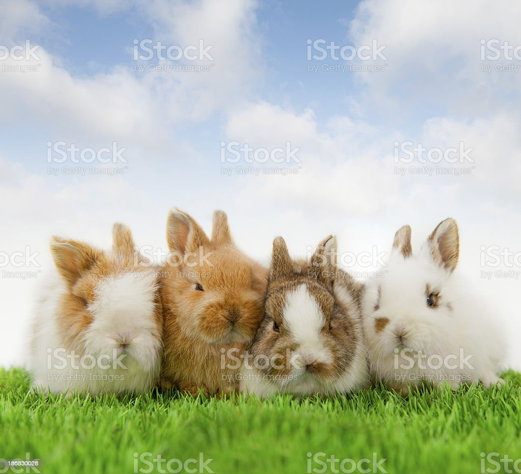 4 Baby bunnies stock photo