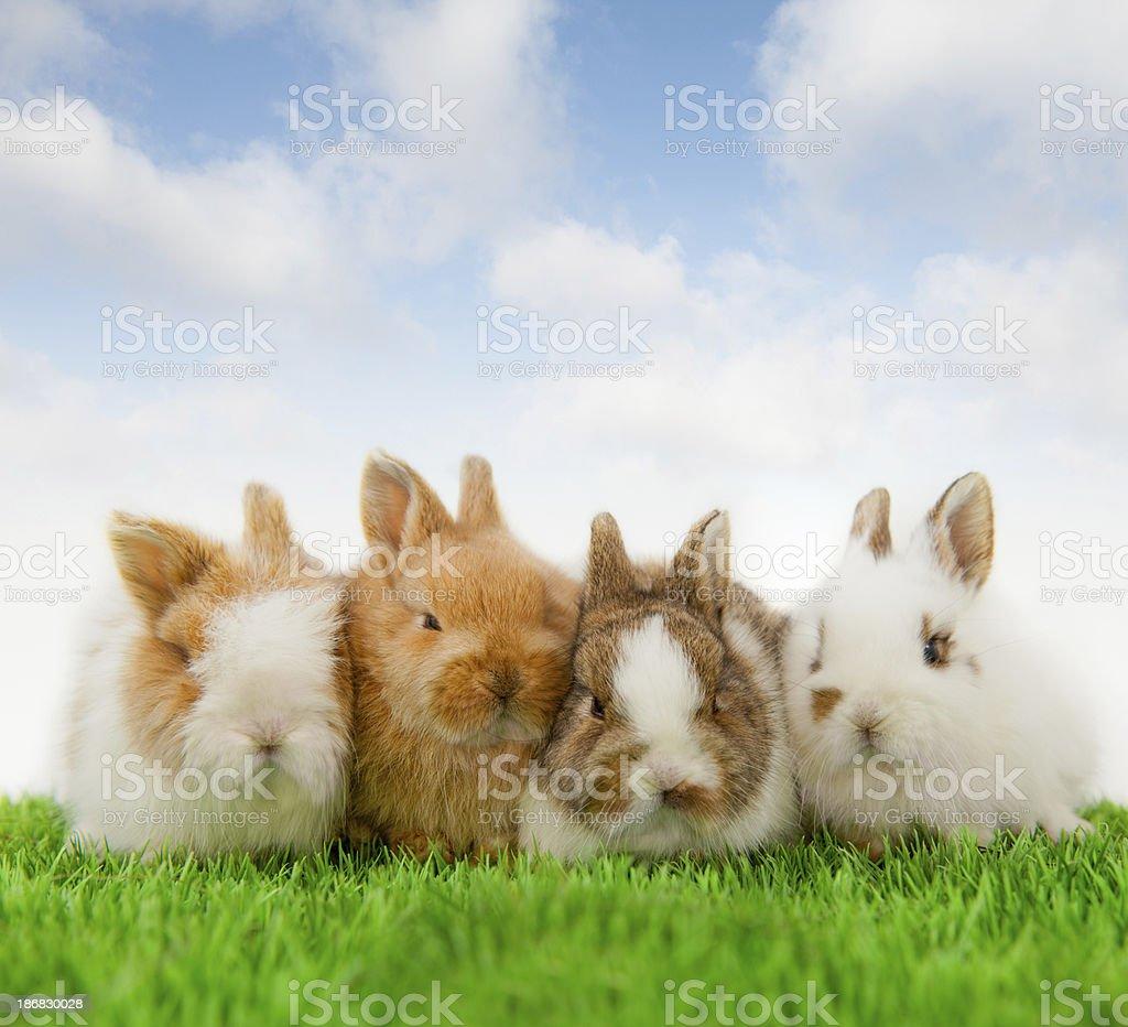 4 Baby bunnies stock photo