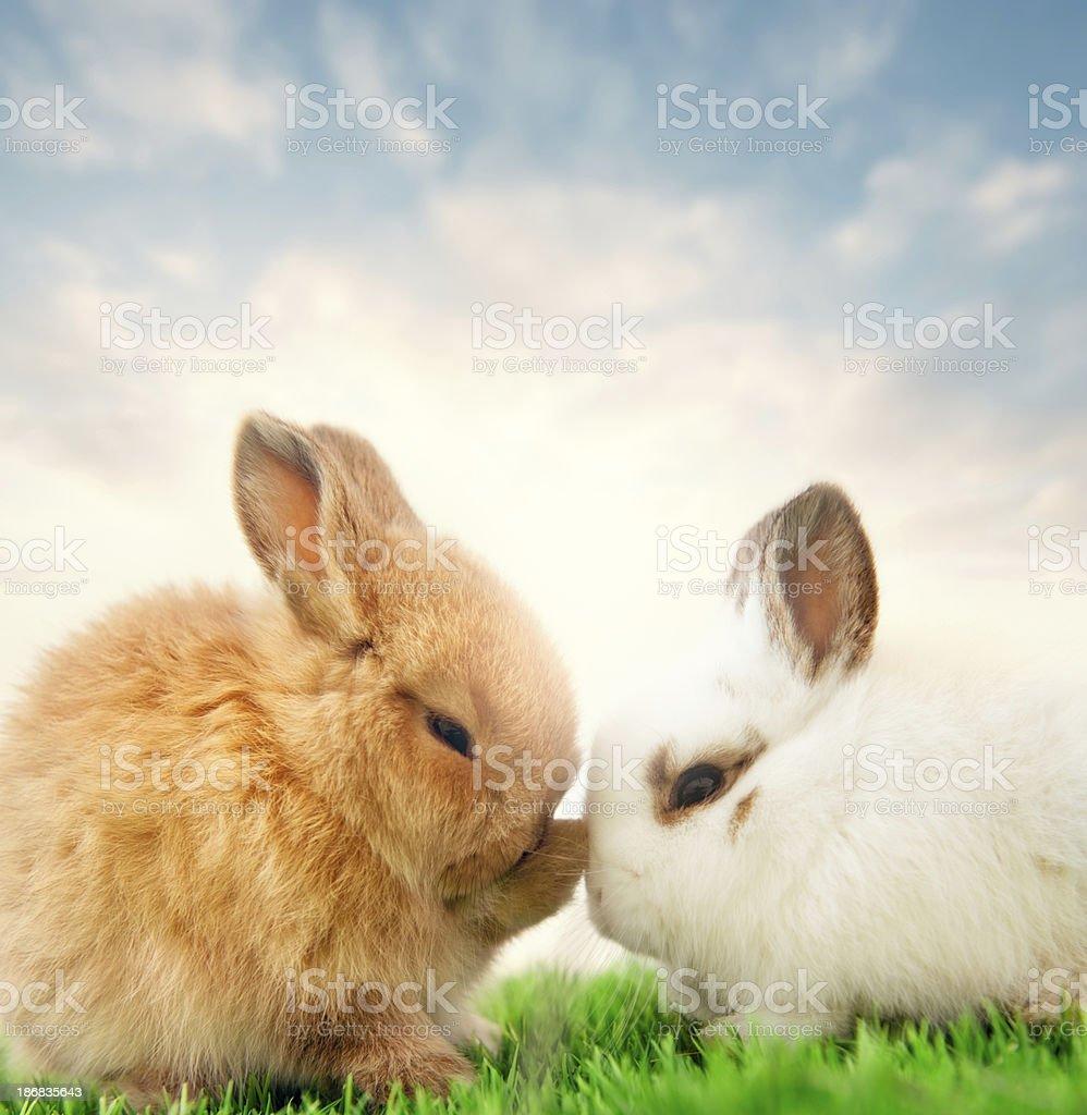 Baby bunnies stock photo