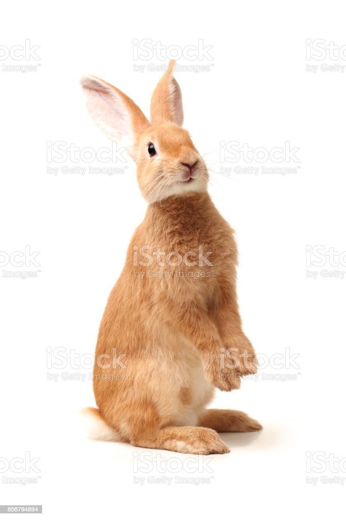 Baby Bunny isolated on white background stock photo