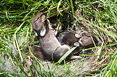Baby bunny nest. Baby rabbits nuzzled in their nest. One tries to climb out. Little rabbit ears and paws snuggled in the nest.