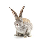 Baby Bunny on the white background