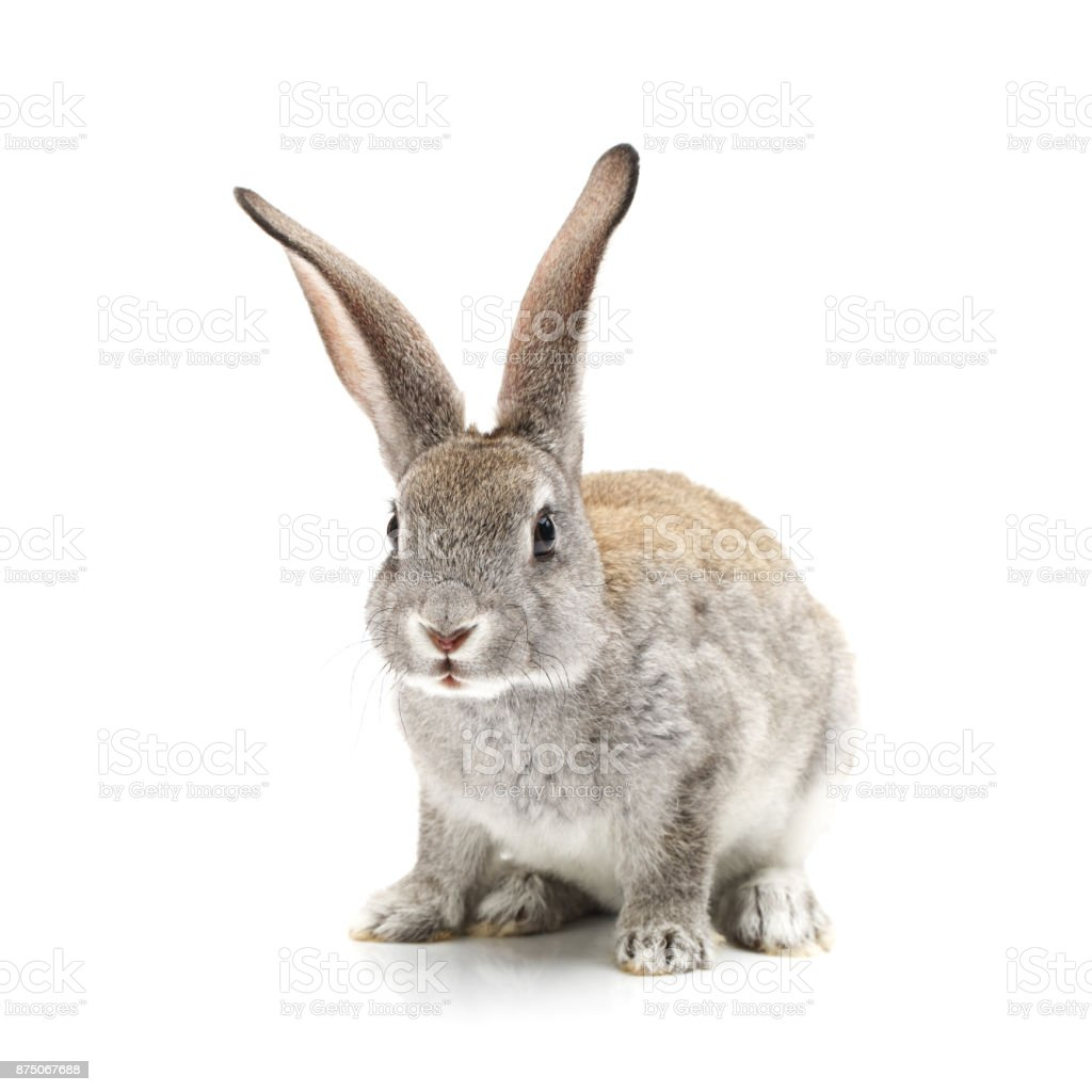 Baby Bunny on the white background stock photo