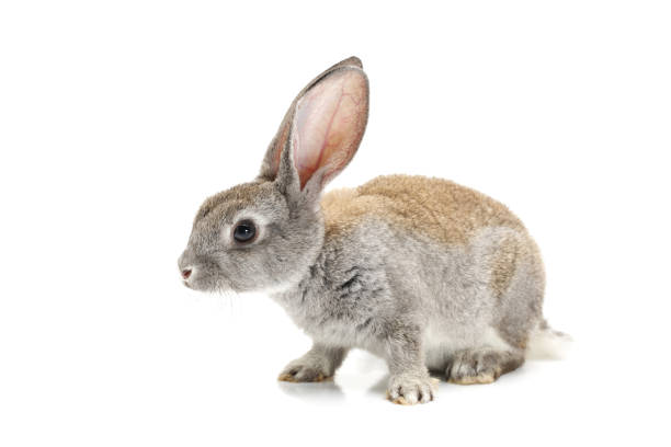 Baby Bunny on white background stock photo