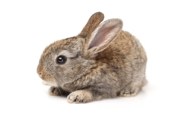 baby bunny on white background - rabbit stock photos and pictures