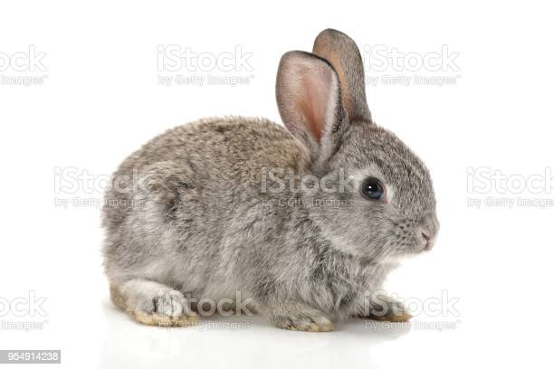 Baby bunny on white background picture id954914238?b=1&k=6&m=954914238&s=612x612&h=gtgw3bpwwroyt2gizbh f9jus7e8feup40ojbaa33wc=