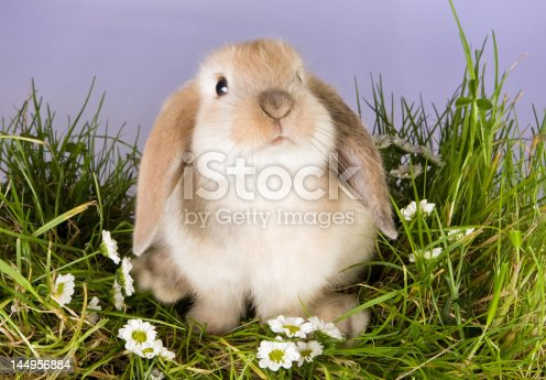 istock Baby bunny 144956884