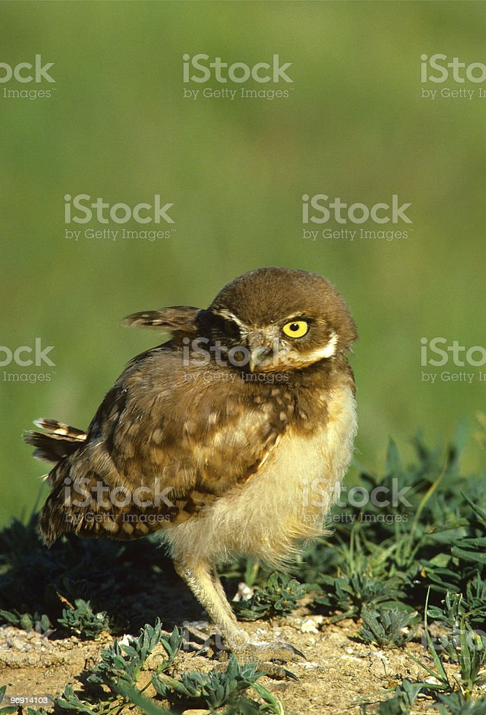 Baby Burrowing Owl royalty-free stock photo