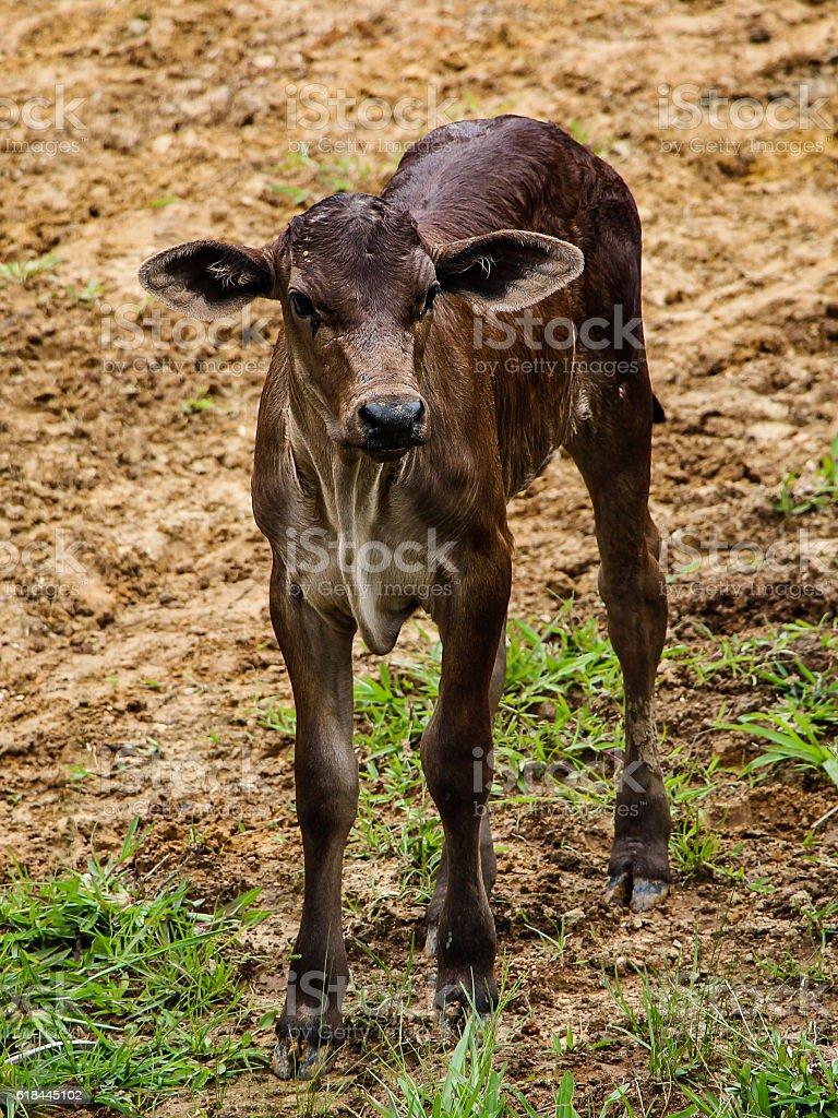 Baby calf (Rio Fortuna - Brazil) stock photo