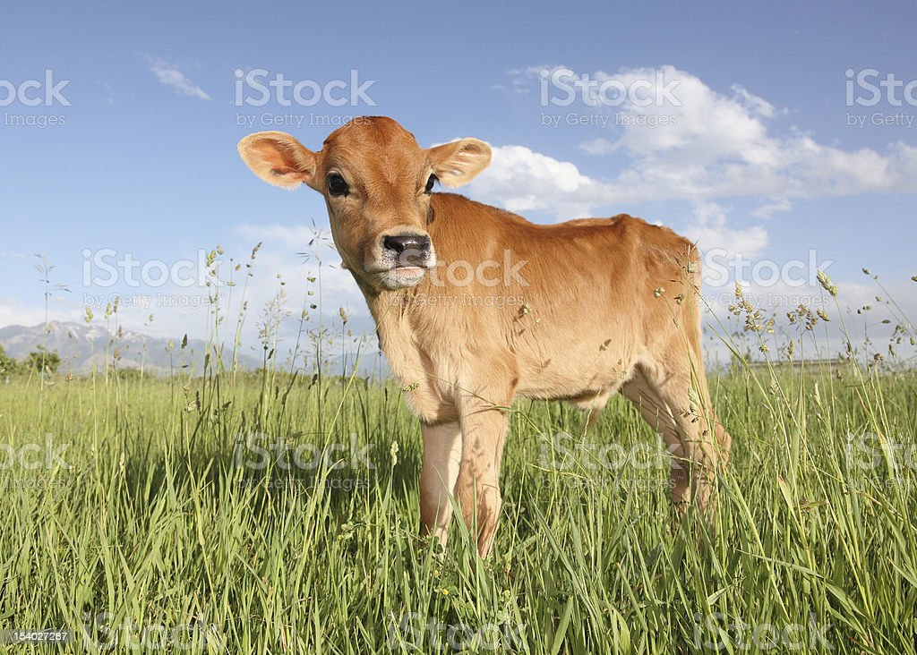 A baby calf standing in a meadow during the day stock photo