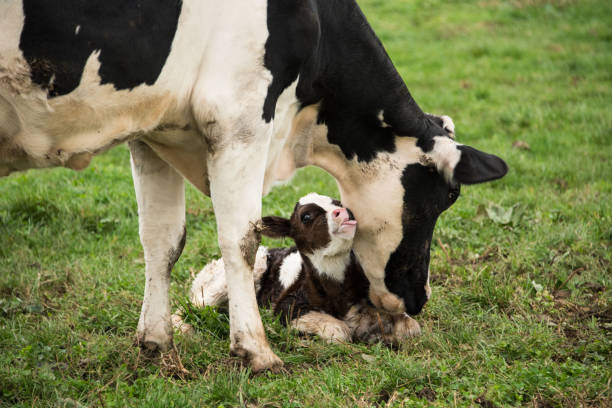 Baby calf with mother A baby calf with its mother calf stock pictures, royalty-free photos & images