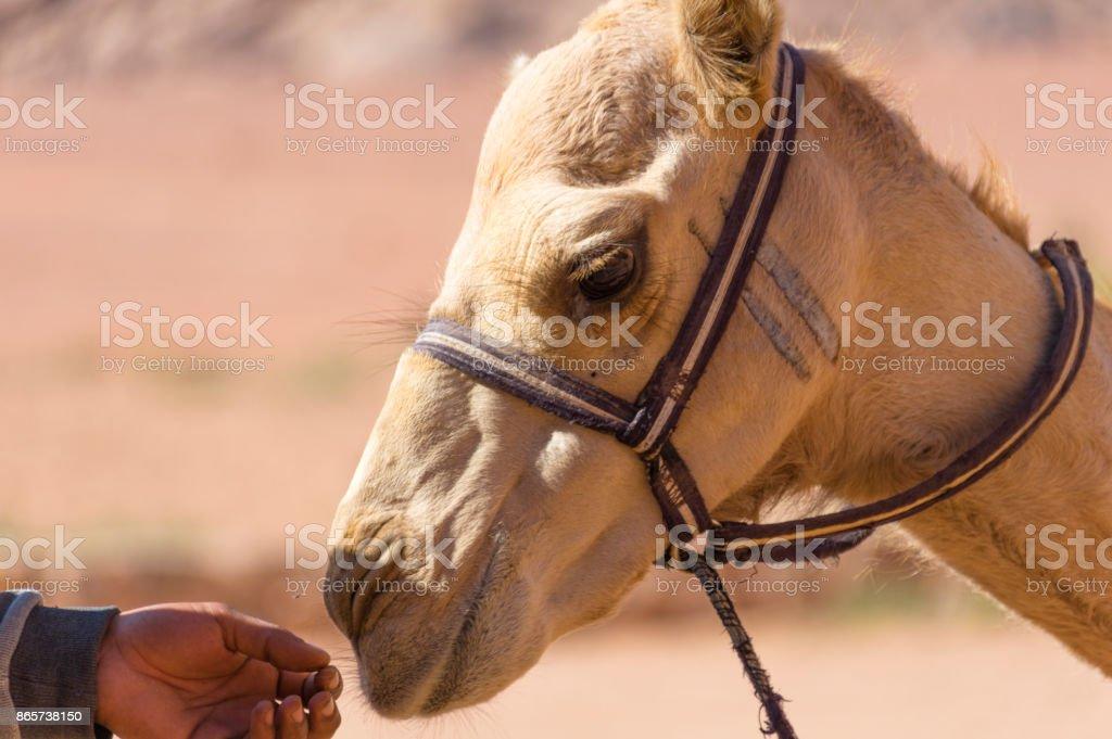Bebek deve stok fotoğrafı