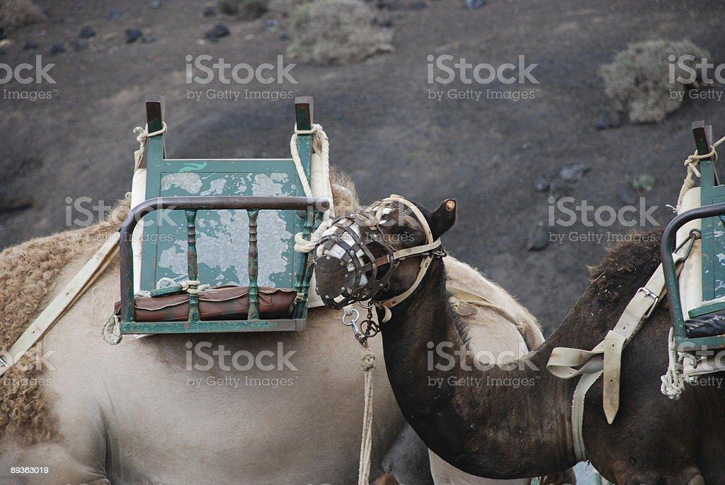 Baby camel royalty-free stock photo