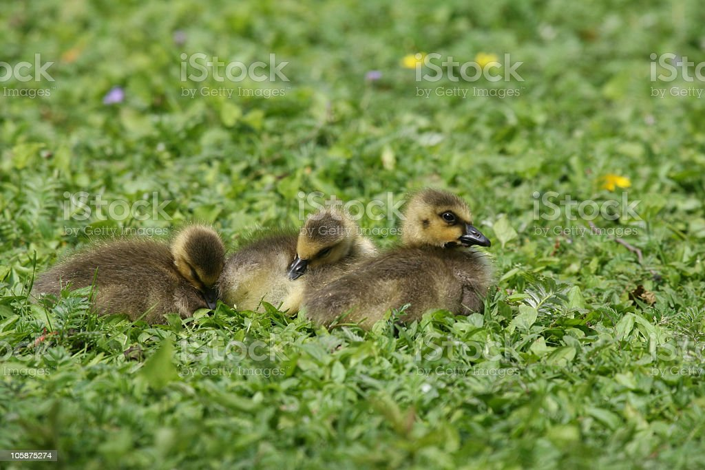Baby Canada Geese royalty-free stock photo