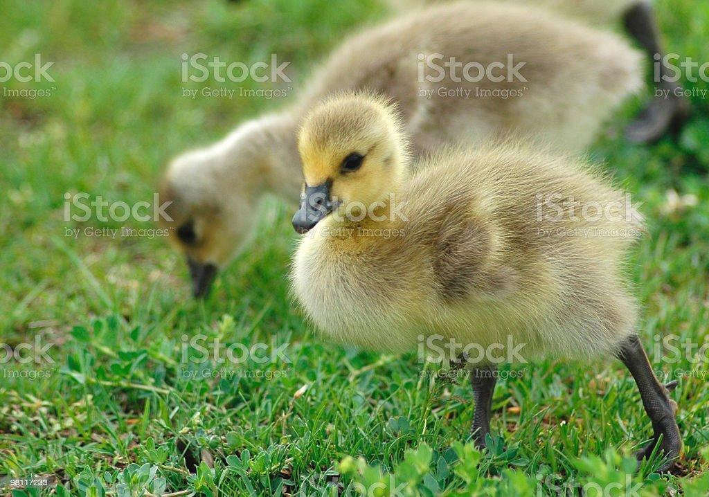 Baby Canada Goose royalty-free stock photo