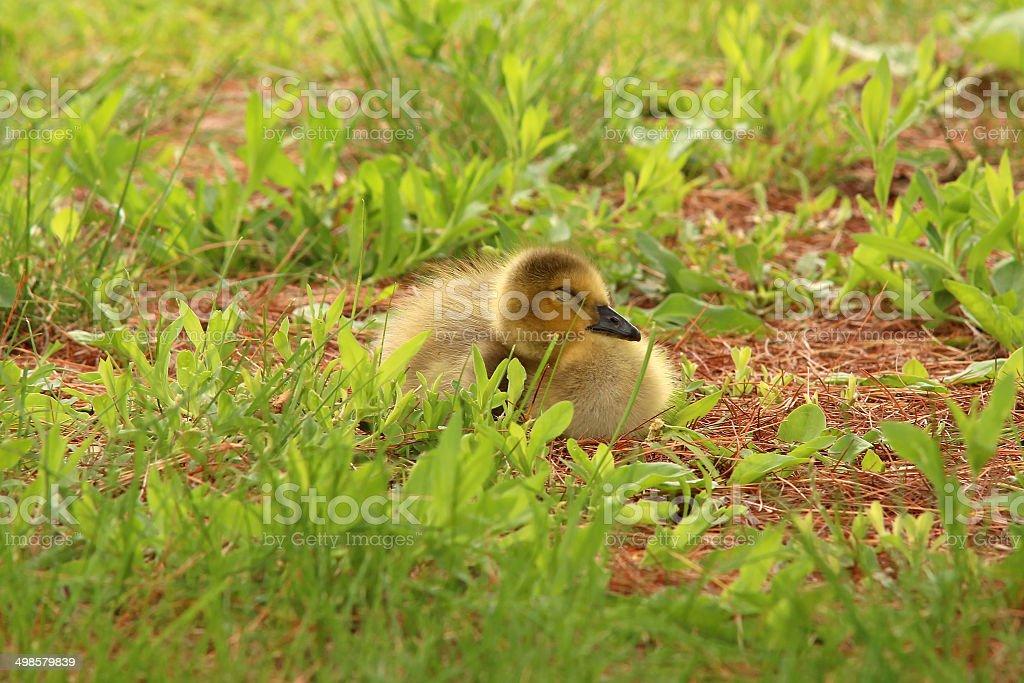 Baby Canada goose sleeping stock photo