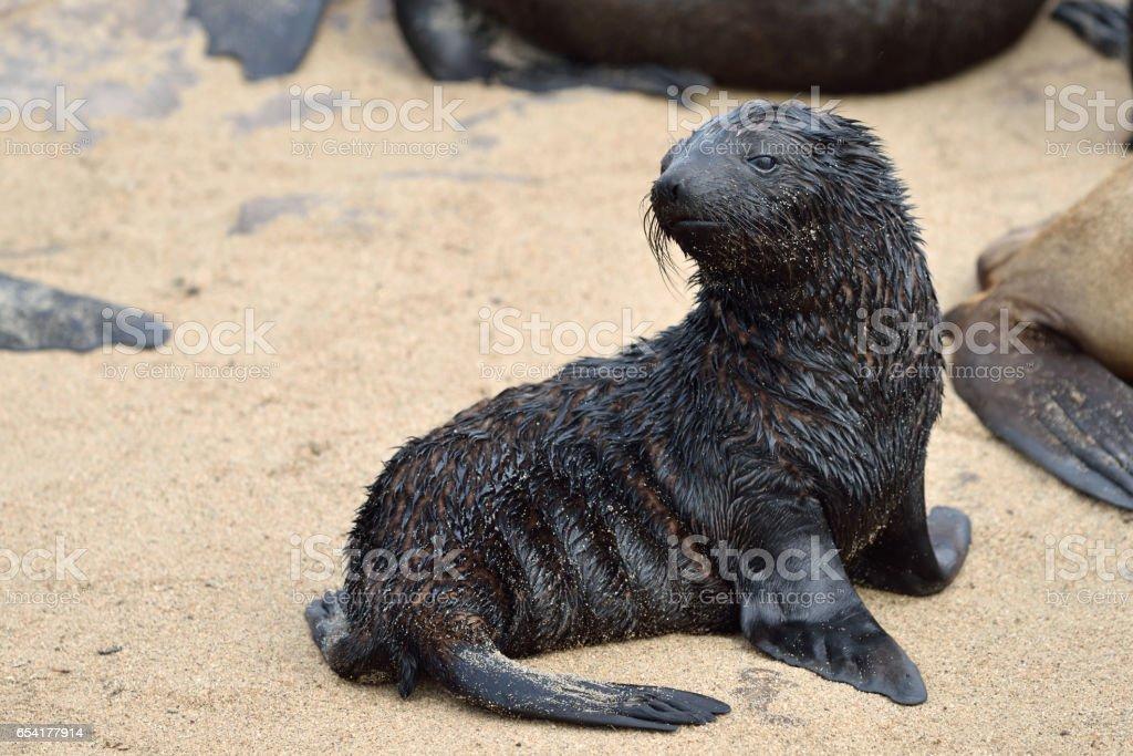 Baby cape fur seal stock photo