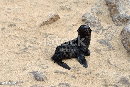 Very young cape fur seal, Skeleton Coast, Namibia, Africa