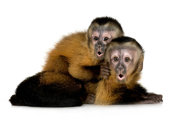 Baby capuchin monkeys with surprised expression stock photo