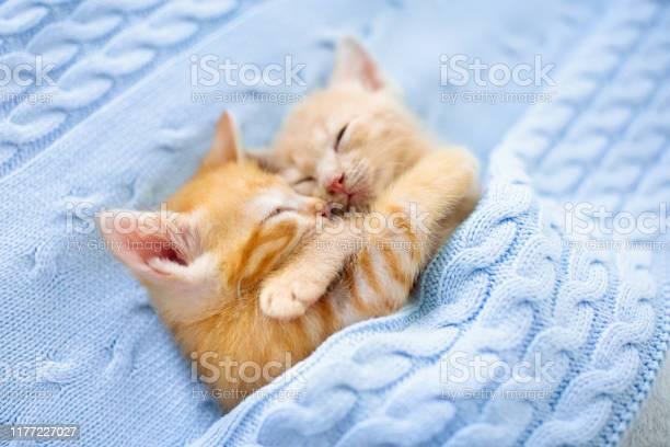 Baby cat ginger kitten sleeping under blanket picture id1177227027?b=1&k=6&m=1177227027&s=612x612&h=xvnpefwqvrdqudbfylm3su6mb6hjms9icai g3uxblu=