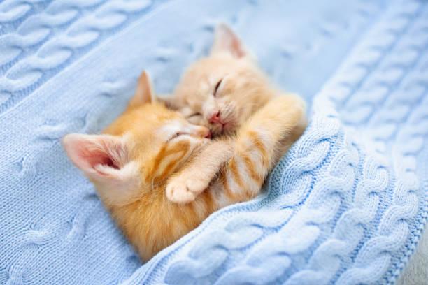 Baby cat ginger kitten sleeping under blanket picture id1177227027?b=1&k=6&m=1177227027&s=612x612&w=0&h=wce5uly7m2tjjptwjp8sjcjif2jxv6cf5o6  wdwiyy=