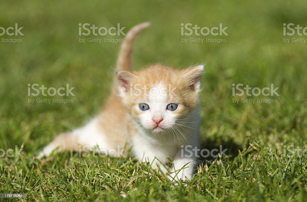 Baby cat royalty-free stock photo