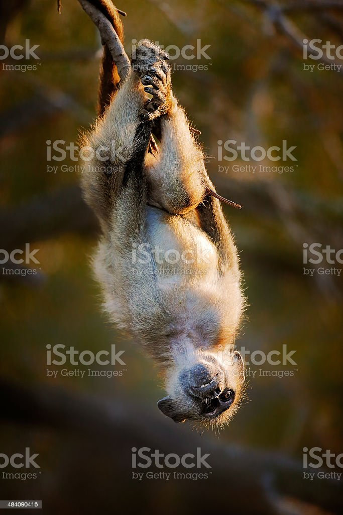 Baby Chacma hanging upside down stock photo